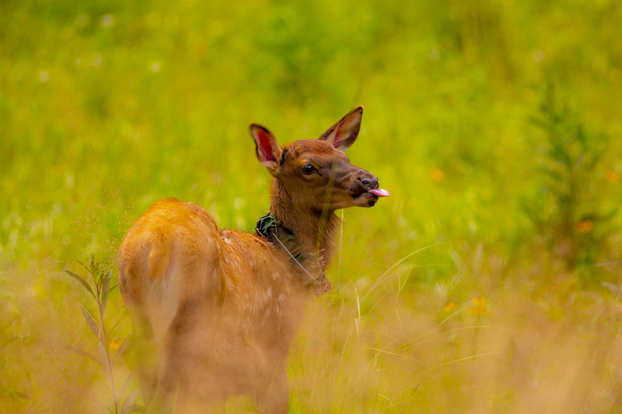 Baby Elk in Great Smoky Mountains